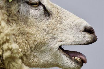 Sheep in dialogue